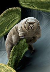 Тихоходка - самый выносливый животный организм нашей планеты