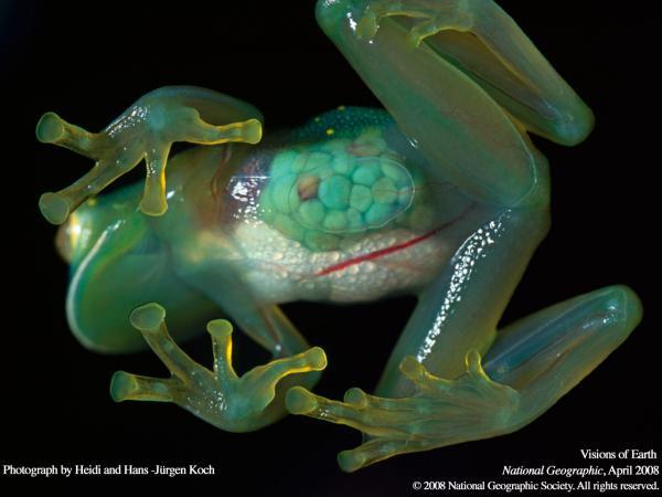 Прикрепленное изображение: venisuel_frog.jpg